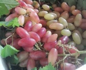 Bán cây giống nho móng tay mỹ nữ nhập khẩu, số lượng lớn, giao cây toàn quốc.