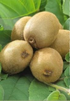 Bán cây giống, hạt giống cây kiwi, số lượng lớn, chuẩn giống, giao cây toàn quốc.