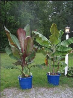 Bán cây giống chuối đỏ Đacca nuôi cấy mô, số lượng lớn, giao cây toàn quốc.
