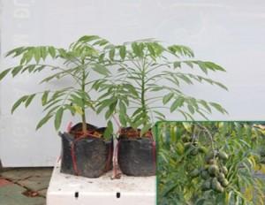 Bán giống cây cóc thái, số lượng lớn, giao cây toàn quốc.