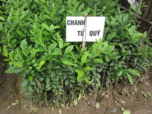 Chuyên cung cấp giống cây chanh tứ quý,chanh bốn mùa ,chanh tứ thì,chanh,giống chanh