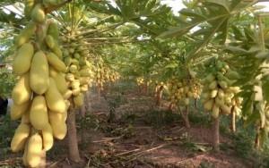 Bán cây giống, hạt giống đu đủ vàng lùn, số lượng lớn, giao cây toàn quốc