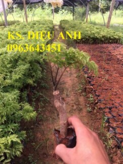 Chuyên cây giống đinh lăng, đinh lăng nếp lá nhỏ, số lượng lớn, bảo hành cây giống, bao tiêu sản phẩm đầu ra.