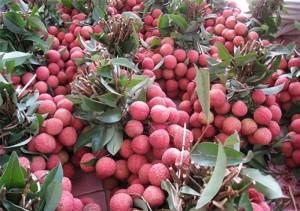 Bán cây giống vải thiều, số lượng lớn, giao cây toàn quốc.