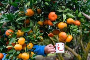 Bán cây giống quýt đường Thái Lan, cam kết chất lượng, giao cây toàn quốc.