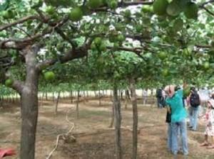 Chuyên cung cấp giống cây táo thái lan,táo thái lan,táo thái,táo,giống táo chất lượng