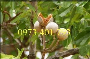 Giống Cây xà cừ cây nhỏ chất lượng, uy tin