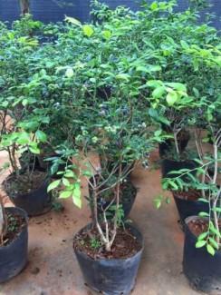 Chuyên cung cấp giống cây việt quất,cây việt quất,việt quất,cây giống việt quất,số lượng lớn