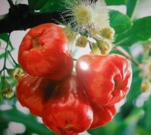 Bán cây giống roi thái đỏ, số lượng lớn, giao cây toàn quốc.