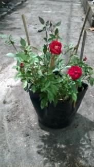 Hoa hồng tỉ muội màu đỏ