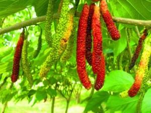 Bán cây giống dâu quả dài Đài Loan nhập khẩu, số lượng lớn, giao cây toàn quốc