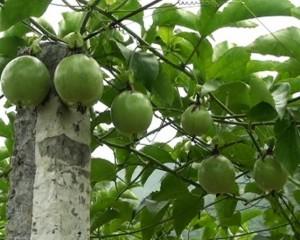 Bán cây giống chanh dây, chuẩn giống, số lượng lớn, giao cây toàn quốc.