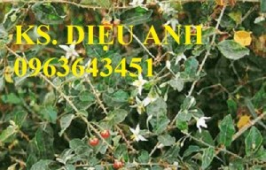 Chuyên cung cấp cây giống, hạt giống cà gai leo số lượng lớn, chất lượng cao, hỗ trợ bao tiêu đầu ra