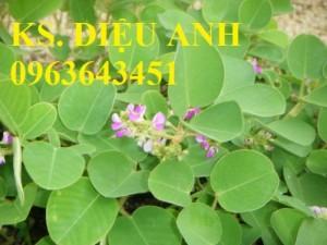 Chuyên cung cấp cây giống, hạt giống kim tiền thảo, số lượng lớn, chất lượng cao, hỗ trợ bao tiêu sản phẩm đầu ra.