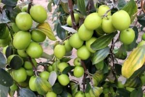 Chuyên cung cấp giống táo d28,táo d28,giống táo d28,táo chất lượng