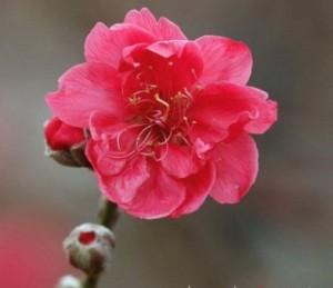 Chuyên cung cấp giống cây hoa đào bích,hoa đào bích,đào bích,đào số lượng lớn,giao hàng toàn quốc