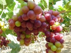 Chuyên cấp giống cây nho pháp chất lượng tốt,số lượng lớn,giao hàng toàn quốc