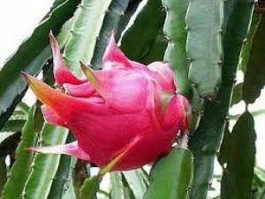 Chuyên cung cấp giống cây thanh long ruột đỏ,thanh long đỏ,thanh long chất lượng tốt
