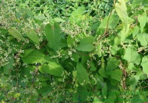 Bán cây giống hà thủ ô đỏ, số lượng lớn, giao cây toàn quốc.