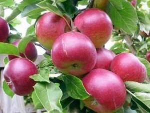 Chuyên cung cấp giống cây táo tây,cây táo tây,quả táo tây,táo tây ruột đỏ,táo ruột đỏ,táo