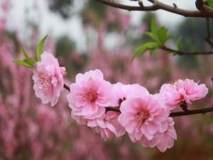 Bán cây giống hoa đào phai, cam kết chuẩn giống, số lượng lớn, giao cây toàn quốc