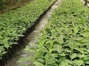 Cây chuối tây Thái Lan nuôi cấy mô, số lượng lớn