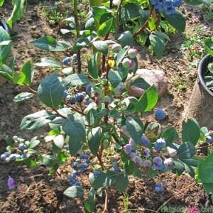 Cây giống việt quất (Sim Úc) nhập khẩu, số lượng lớn, giao cây toàn quốc