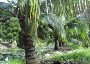 Cây giống dừa xiêm lùn, số lượng lớn, giao cây toàn quốc