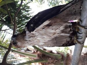 Cần bán chim nuôi 2 năm, rất ngoan nghe lệnh chủ, đã thả tự do