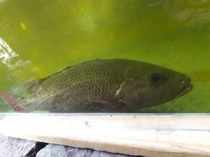 Bán cá sủ vàng quý hiếm