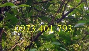 Giống cây Vối nếp cây choai cao 2 m