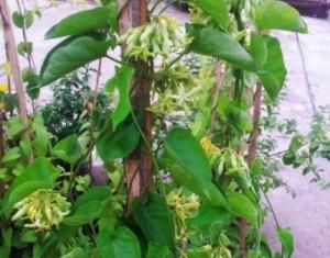 Bán cây giống hoa thiên lý, số lượng lớn, giao cây toàn quốc.