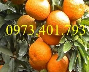 Giống  cây cam sành, cam sành, cây cam sành, kĩ thuật trồng cây cam sành