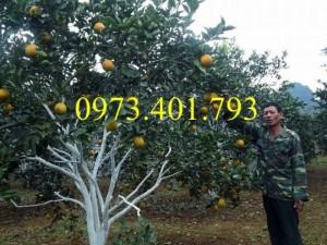 Giống cây cam V2, cam V2, cây  cam, kĩ thuật trồng cam V2