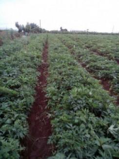 Chuyên cung cấp Cây giống đương quy, đương quy đỏ, cây giống đương quy đỏ
