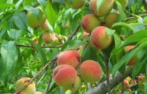 Cây giống đào đỏ, đào vàng, đào quả đỏ, đào quả vàng, số lượng lớn, giao cây toàn quốc
