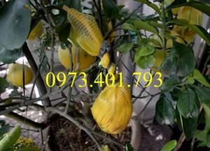 Giống cây Bưởi Diễn ( cây choai )