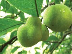 Cây giống chay, giống cay chay, số lượng lớn, giao cây toàn quốc.
