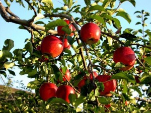 Giống táo mỹ vỏ đỏ ruột trắng