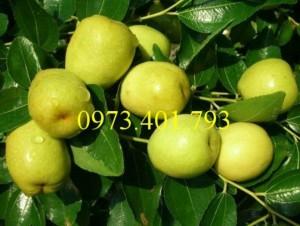 Giống cây táo chua, táo chua , cây táo chua, táo, cây táo