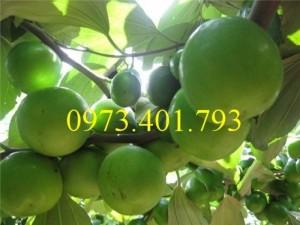 Giống cây Táo Thái  miền bắc
