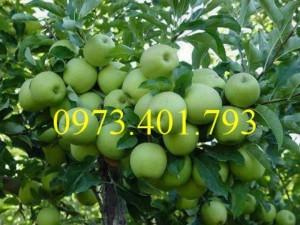 Cây giống táo Đại, táo Đại, cây táo Đại, táo, cây táo