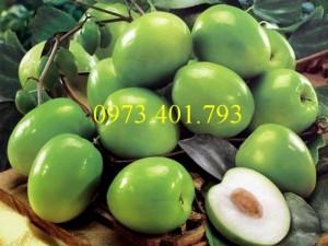 Cây giống táo Đài Loan, táo Đài Loan, cây táo, táo, cây táo Đài Loan