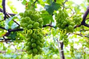Giống cây nho xanh Ninh Thuận