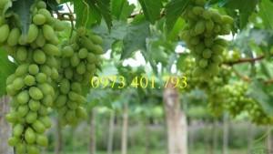 Chuyên cung cấp Giống Cây nho xanh Ninh Thuận chất lượng, giá rẻ