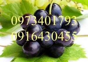 Giống cây nho tím Ninh Thuận