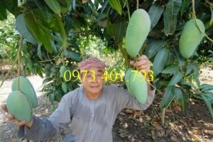Giống cây xoài Đài Loan, cây xoài , kĩ thuật trồng xoài, cây xoài Đài Loan, xoài