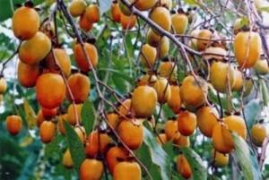Cây giống hồng không hạt, hồng nhân hậu, số lượng lớn, giao cây toàn quốc