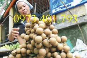 Chuyên Cung cấp cây giống Nhãn chiết sớm quả to Indo giá rẻ
