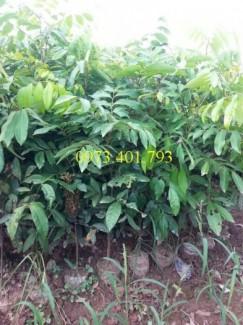 Chuyên Cung cấp cây giống nhãn muộn Hưng Yên giá rẻ